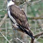 """Osprey (Bath Maine Region)"" by bavosiphotoart"