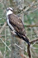 Osprey (Bath Maine Region)