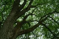 under the american elm
