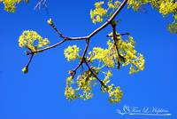 Norway Maple 20120402_150a