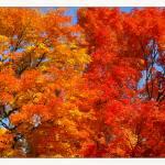 """Fall Sugar Maple Trees"" by CuriousEye"