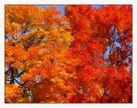 Fall Sugar Maple Trees