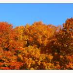 """Fall Three Sugar Maple Trees"" by CuriousEye"