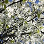 """Flowering Tree"" by ChrisBradshaw"