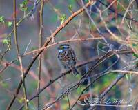 White-Throated Sparrow 20120318_246b