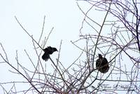 Common Blackbirds 20120321_43a