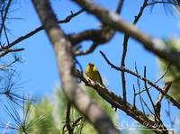 American Goldfinch 20120405_175a