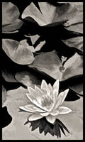Waterlilly B+W