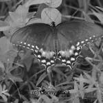 """Black and White Swallowtail Butterfly"" by donny1984"