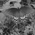 """Black and White of a Butterfly"" by donny1984"