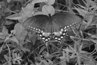 Black and White of a Butterfly