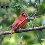 """cardinal perching"" by donny1984"