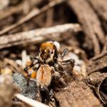 """Jumping Spider (1 of 2)"" by HughCampbell"