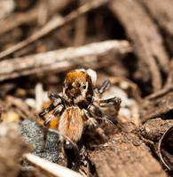 Jumping Spider Macro Close Up 1