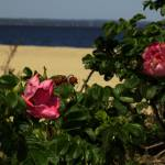 """Stehli Beach Flowers"" by ACastelli"