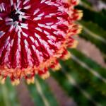 """""""Acron Banksia, 2"""" by HughCampbell"""