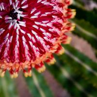 Acorn Banksia Macro Close Up, 2