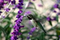 Black Throated Hummingbird