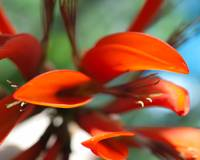 Flame Tree Flower Close Up Marco, 1
