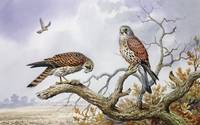 Pair of Kestrels by Carl Donnner