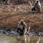 """Langur Monkeys at Waterhole Ranthambore"" by Serena"