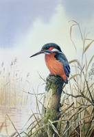 Kingfisher by Carl Donner