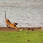 """Tiger Stretching Ranthambore"" by Serena"