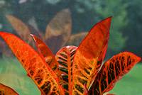 Tropical Plant  Croton Red Leaf