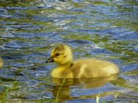 Little Gosling Canada Goose Wildlife Photography