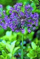 Flower  Blue Allium in Garden