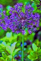 Flower  Purple Allium in Garden