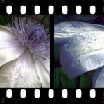 """Filmstrip Flower Tones"" by AprilO"