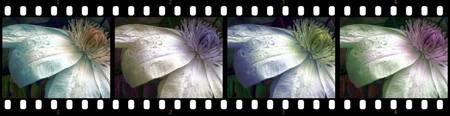 Filmstrip Flower Tones