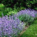 """Lupine Purple Blaze Garden"" by PhotographsByCarolFAustin"