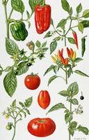 Tomatoes and related vegetables by E. Rice