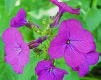Honesty Money plant Lunaria annua