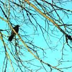 """Crow"" by KjWorthing"