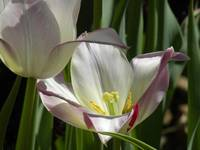 Tulip Emerging From the Shadows