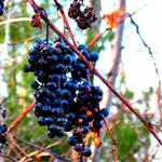"""""""Wild Grapes"""" by maureenmarieltd"""