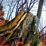 """""""Weather Beaten Stump"""" by maureenmarieltd"""