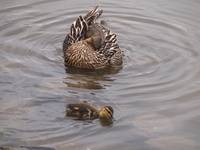 Female and Baby Mallard 080