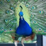 """Pretty Peacock"" by Dzines"