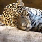 """""""Soulful Jaguar"""" by Dzines"""