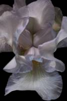 Angel Wing Iris on Black