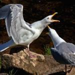 """Gulls Sounding Off"" by bavosiphotoart"