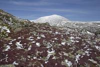 Diapensia Tufts and Mount Washington in Spring