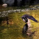 """Osprey with Catch"" by bavosiphotoart"