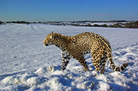 Jaguar's Winter Walk