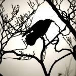 """Crow Silhouette"" by raetucker"