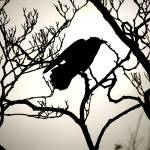 """Crow Silhouette"" by raetucker"